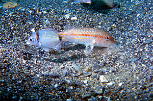 Red mullet searches in sand for prey  {Mullus surmuletus} and attracts a Two banded bream {Diplodus vulgaris} looking for food. Mediterranean  -  Jose B. Ruiz