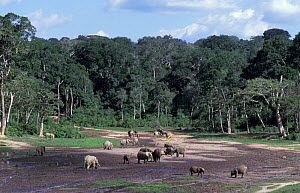 Forest elephants {L africana cyclotis} dig for minerals in forest clearing, Central African  -  Andrew Murray