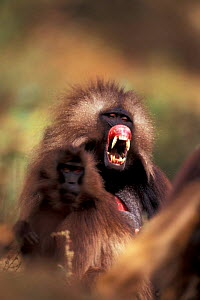 Gelada baboon lip flip display (uncertainty) {Theropithecus gelada} Simien mtn NP, Ethiopia - David Pike