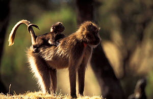 Gelada baboon female carrying young on back, tails entwined {Theropithecus gelada} Ethiopia  -  David Pike