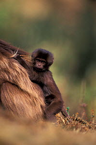 Gelada baboon baby (dark coat) sitting on tail base of mother {Theropithecus gelada} Ethiopia  -  David Pike