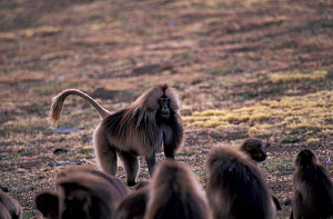 Gelada baboon male standing aggressively facing group {Theropithecus gelada} Ethiopia  -  David Pike