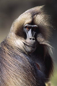 Gelada baboon mature male portrait with wind blown hair (Theropithecus gelada) Simien Mountains NP, Ethiopia  -  David Pike