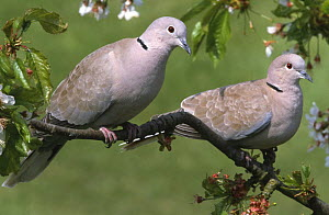 Two Collared doves (Streptopelia decaocto) on tree in blossom, UK  -  Terry Andrewartha