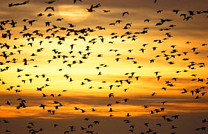 Flock of Pink footed geese flying at sunset {Anser brachyrhynchus} UK  -  Terry Andrewartha