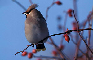 Bohemian waxwing perched with rose hips {Bombycilla garrulus} UK  -  Terry Andrewartha