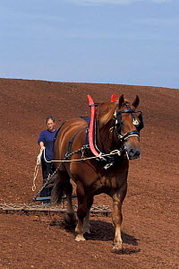 Suffolk punch carthorse pulling chain harrow {Equus caballus} Somerset UK  -  Colin Seddon