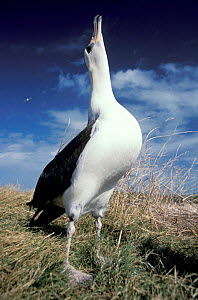 Laysan albatross display (Phoebastria immutabilis) Midway Atoll Pacific  -  Michael Pitts
