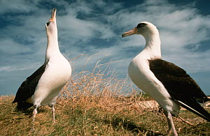 Laysan albatross display (Phoebastria immutabilis) Sand Is Midway Atoll Pacific  -  Michael Pitts