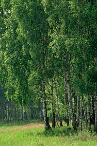 Birch trees in spring in Biosphere reserve, Schofheide, Bradenberg, Germany  -  Christoph Becker