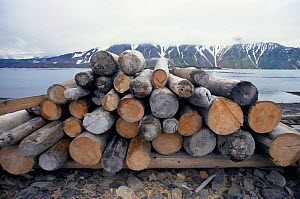 Logpile (driftwood collected for winter fuel). Svalbard, Norway.  -  Steve Packham