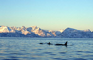 Pod of Killer whales {Orcinus orca} surfacing in fjord, Tysfjord, Norway  -  Martha Holmes