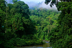 Early morning mist over lowland rainforest, Danum valley, Sabah, Borneo, Malaysia - Nick Garbutt