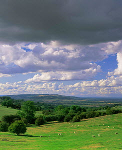 Sheep grazing in Cotswold landscape, Little Foxcote, Gloucestershire, UK. 2003  -  Nick Turner