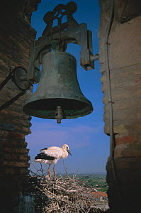 White stork nesting next to bell tower {Ciconia cinconia} Spain  -  John Cancalosi