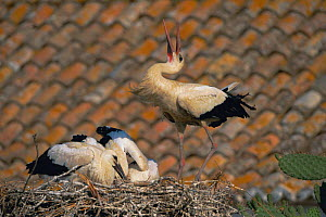 White stork displaying at nest on roof {Ciconia cinconia} Spain  -  John Cancalosi
