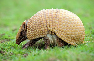 Three banded armadillo {Tolypeutes tricinctus} walking Captive, UK  -  Mark Payne-Gill