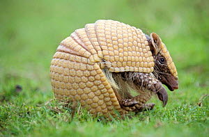 Three banded armadillo {Tolypeutes tricinctus} uncurling from defensive ball  -  Mark Payne-Gill