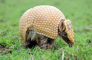 Three banded armadillo {Tolypeutes tricinctus} walking after uncurling from defensive ball  -  Mark Payne-Gill