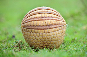 Three banded armadillo {Tolypeutes tricinctus} in defensive ball. Captive, UK  -  Mark Payne-Gill