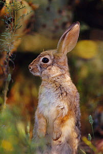 Desert cottontail rabbit portrait {Sylvilagus audubonii} Sonoran desert, Arizona, USA - John Cancalosi