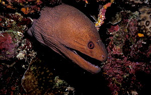Giant moray eel {Gymnothorax javanicus} Maldives  -  Francis Abbott