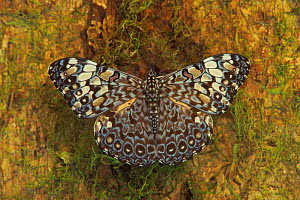 Clacker butterfly portrait {Hymadryas sp} tropical dry forest, Costa Rica  -  John Cancalosi
