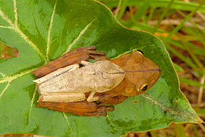Map tree frog pair mating {Hyla geographica} tropical rainforest, Peru - John Cancalosi