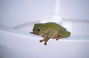 Green tree frog on lavatory pan {Litoria caerulea} enters homes through drainage systems, Queensland, Australia  -  WILLIAM OSBORN