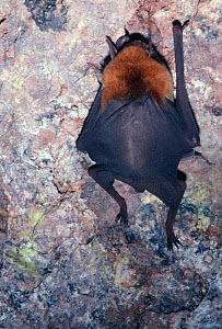 Naked-backed / Moustached bat {Pteronotus davyi} Sonora, Mexico  -  Barry Mansell