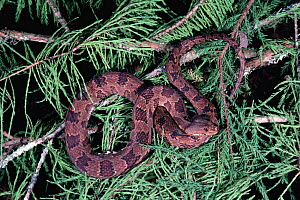 Brown water snake in tree {Natrix taxispilota} Florida, USA  -  Barry Mansell