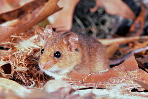 Key largo cotton mouse {Peromyscus gossypinus allapaticola} captive Florida, - Barry Mansell