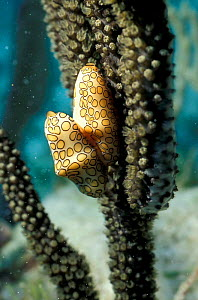 Two Flamingo tongue nudibranchs {Cyphoma gibbosum} on coral Bahamas, Caribbean - Solvin Zankl