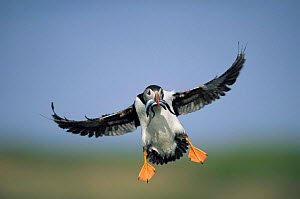 Puffin {Fratercula arctica} landing with sandeels in beak, Orkney, Scotland, UK 2006 - Solvin Zankl