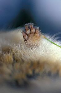 Norway lemming close up of paw {Lemmus lemmus} Norway - Solvin Zankl