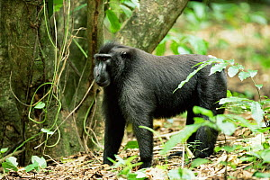 Celebes / Black / Sulawesi crested macaque (black ape) {Macaca nigra} in rainforest. Sulawesi, Indonesia  -  Solvin Zankl