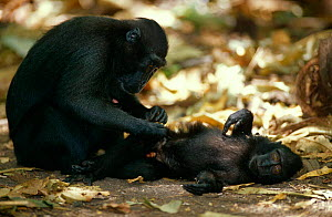 Celebes / Black / Sulawesi crested macaque {Macaca nigra} mother grooming young, Sulawesi, Indonesia  -  Solvin Zankl