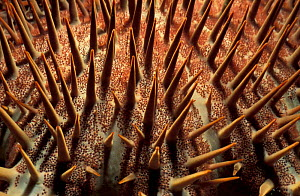 Close up of thorns of Crown of thorns starfish {Acanthaster planci} Sulawesi, Indonesia  -  Solvin Zankl