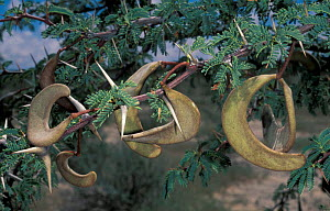 Camelthorn acacia with seed pods {Vachellia erioloba} Kgalagadi Transfrontier Park, South Africa  -  Pete Oxford