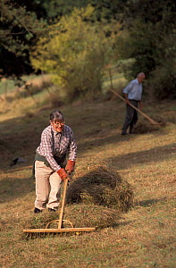 Wildlife Trust volunteer raking hay, Gloucestershire, UK - Nick Turner