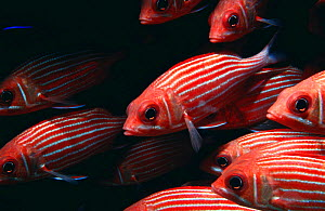 Shoal of Hawaiian squirrelfish {Sargocentron xantherythrum}, Midway Islands, Pacific  -  Michael Pitts