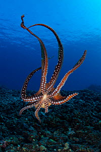 Day / Common reef octopus {Octopus cyaneus} Hawaii  -  Brandon Cole