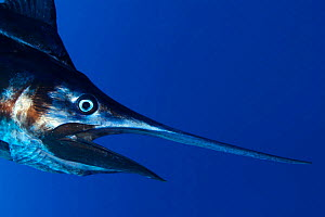 Pacific blue marlin {Makaira nigricans mazara} Hawaii Pacific Ocean  -  Brandon Cole