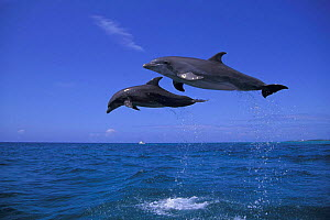 Two Bottlenose dolphins jumping high above sea {Tursiops truncatus} Bahamas, Caribbean Sea. Dolphins can jump as high as 5m above the water surface.  (Non-ex).  -  Doug Perrine