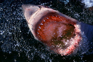 Great white shark jawing at surface {Carcharodon carcharias} South Africa  (Non-ex).  -  Doug Perrine