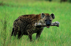 Spotted hyaena {Crocuta crocuta} with Buffalo bone. Moremi WR Botswana - Richard Du Toit