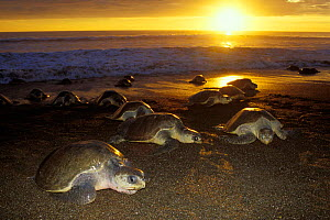 Female Olive Ridley turtles coming ashore to lay eggs at sunset {Lepidochelys olivacea} Costa Rica, Pacific Ocean  (Non-ex).  -  Doug Perrine