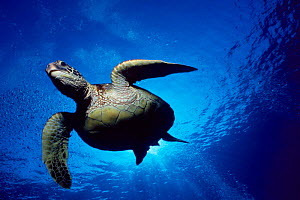 Green turtle swimming {Chelonia mydas} Hawaii, Pacific Ocean - underside view  (Non-ex).  -  Doug Perrine