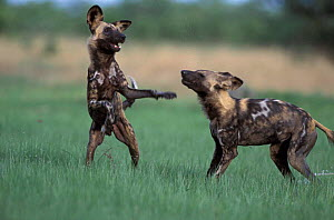 African wild dogs {Lycaon pictus} playfighting. Savute, Chobe NP, Botswana. - Richard Du Toit