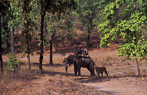 Tourists on elephant watching Bengal tiger {Panthera tigris tigris} Bandhavgarh NP, India  -  E.A. KUTTAPAN